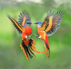 Gray-chinned Minivet attacking his reflection!: Animals, Nature, Grey Chinned Minivet, Beautiful Birds, Gray Chinned Minivets, Photo