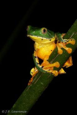 Gray-Eyed Tree Frog. Www.boneyardbakery.net: Photos, Frogs Amphibians Reptiles, Frog Cruziohyla, Tree Frogs, Amphibians Frogs, Gray Eyed Tree, Trees