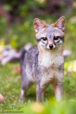 ☀Gray Fox (by Benjamin Fox)*: Foxy Foxes Even, Animals Foxing, Adoreable Animals, Benjamin Fox, Animal Kingdom, Amazing Animals, Gray Foxes, Gray Fox Animal, Photo
