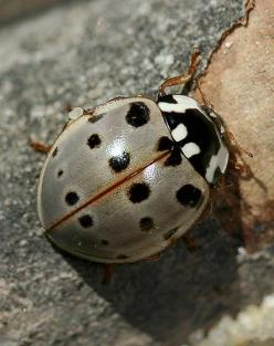 Gray ladybug (Ladybird Beetle). I have actually seen one of these before. Love it!!! DM: Fifteen Spot Ladybird, Sweet, Color, Ladybug Ladybird, Ladybirds Ladybugs, Beetles, Anatis Labiculata