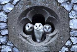 GRAYSCALE at its best: Richard Brooks photographed the three young Barn Owls looking out of the quatrefoil of a Norfolk, UK church one evening in July after staking out the site most evenings over a three week period.: Animals, Window, Nature, Barnowls, C