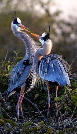 Great Blue Herons (Ardea Herodias), by Pedro | http://best-beautiful-bird-of-paradise.blogspot.com: Birdie, Display Ardea, Animals Birds, Beautiful Birds, Blueherons