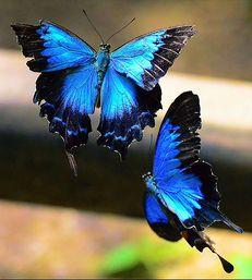 Great dark pretty blue butterflies._ I have a pair of earrings like it~~: Beautiful Butterflies, Butterflies Dragonflies Moths, Blue Butterfly, Flutterby, Blue Mountain