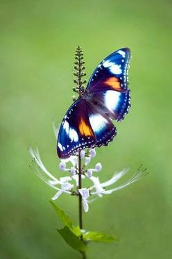 Great Eggfly (Hypolimnas bolina) AKA Blue Moon Butterfly or Common Eggfly | This is a beautiful species of nymphalid butterfly!: Beautiful Butterflies, Butterflies Dragonflies Moths, Beautiful Blue, Eggfly Butterfly, Common Eggfly, Flutterby S