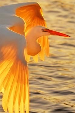 ~~Great Egret in flight at sunset, such a beautiful bird by Graham Owen~~: Nature, Egret S Sunset, Sunset Wings, Beautiful Birds, Photo, Animal