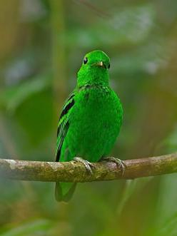 Green Broadbill: Colorful Birds, Green Broadbill, Bedazzling Birds, Emerald Green, Birds Paradise, Birds 艳丽飞禽, Birds 01 21, Photography Birds, Beautiful Birds