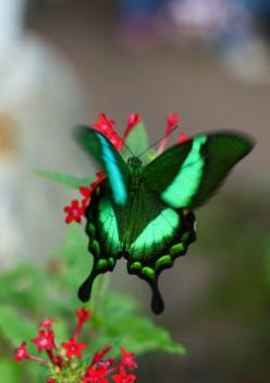 "Green Butterfly (by Dean Ruben) ~ This photo takes you to a website with amazing pictures. It's called  ""Outdoor Sanctuaries"".: Beautiful Butterflies, Dean Ruben, Dean O'Gorman, Flutterby, Animal"