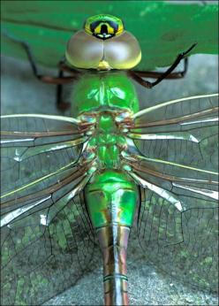 Green Darner Dragonfly - ©Patrick Zephyr - www.patrickzephyrphoto.com/pages/amazing%20insects/greendarner.html: Dragonflies Butterflies, Chase Dragonflies, Dragonfly S, Dragonflies Love, Nature Dragonfly, Dragonflies Insects