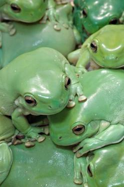 Green Frogs: Animals, Nature, Color, Tree Frogs, White Trees, Reptile