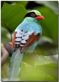 Green Magpie. Scientific name: Cissa chinensis. Order: Passeriformes  Family: Corvidae: Animals, Birdie, Common Green, Pretty Birds, Beautiful Birds, Green Magpie