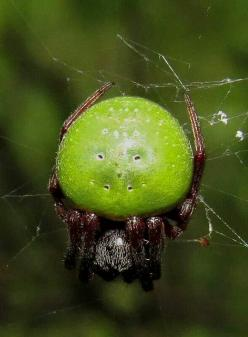 Green Pea Spider, Araneus apricus. I thought this must be fake-- but it's real! Native to Africa.: Pea Spider What, Arañas Spiders Insects, Scary Spider, Spiders Bugs Crawlers, Pea Spider And, Arachnid, Thought, Ragni Spiders
