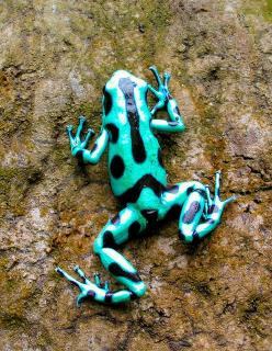 Green Poison Arrow Frog, we have 4 of these guys at the wildlife center (my work) and they're pretty awesome, so small and colorful that they don't look real: Animals, Dart Frogs, Poisons