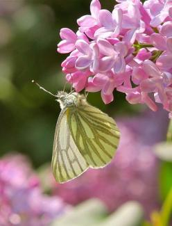 Green-Veined White Butterfly: Beautiful Butterflies, Butterfly Kisses, Ladybugs Butterflies, Animals Category, Beautiful Flowers, Butterfly Board