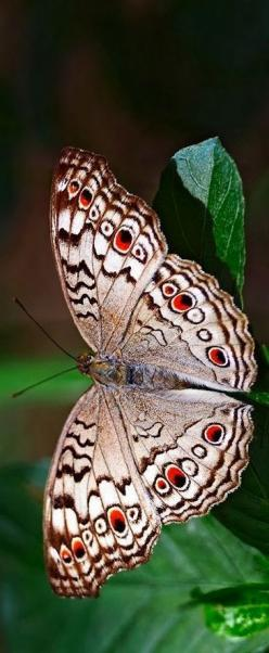 Grey Pansy butterfly (Junonia atlites): Beautiful Butterflies, Butterflies, Nature, Butterflies Insects, Butterflies Moth, Things