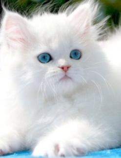 >>Russian blue<<  Just kidding I don't actually know what kind of cat this is I just made that up. :): Kitty Cat, Animals, Pet, White Cats, Beautiful, Blue Eyes, Kittens, Persian Cat