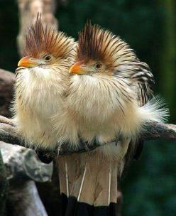 "Guira cuckoos <span class=""EmojiInput mj230"" title=""Black Heart Suit""></span> #nature #animals pinned with Pinvolve - pinvolve.co: South America, Birdie, Animals Birds, Beautiful Birds, Guira Cuckoos, Cuckoo Bird"