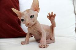 Hairless cat fits in my monster category...okay this one is cute but it doesn't change the fact that they have a link with the supernatural.: Sphinx Kitten, Sphynx Cats, High Five, Animals, Sphynx Kitten, Hairless Kitten, Hairless Cats, Sphinx Cat, Ba
