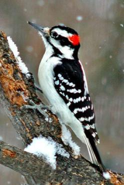 Hairy Woodpecker, a medium sized woodpecker, averaging 9.75 inches in length with 15 inch wingspan. The Hairy Woodpecker inhabits mature deciduous forests in the Bahamas, Central America, the United States, and Canada.: 9 75 Inches, Deciduous Forests, 15