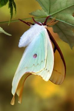 Hanging Out to Dry by Bob Jensen, via 500px: American Luna, Butterfly, Luna Moth, Spirit Animal, Butterflies Insects