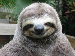 Happiest sloth in the world   http://www.buzzfeed.com/animals/happiest-animals-in-the-world: Sloths, Smiling Animals, Happy Animals, Happy Face, Pet, Funny, Sloth Smile, Things, Happy Sloth