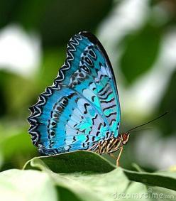 Happiness is a butterfly, which when pursued, is always just beyond your grasp, but which, if you will sit down quietly, may alight upon you.  ~Nathaniel Hawthorne: Beautiful Butterflies, Blue Butterfly, Flutterby, Photo