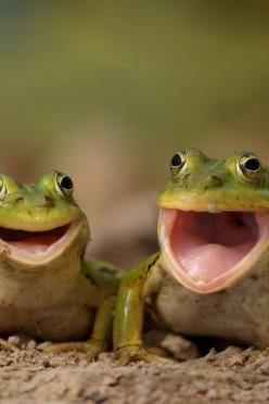 Happy frogs.: Animals, Happy Frogs, Creatures, Funny Animal, Things, Smile, Photo, Happyfrogs