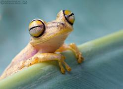 Happy treefrog  2011 © Alejandro Arteaga: Animals, Tree Frogs, Happy Treefrog, Treefrogs, Smile, Photo, Eye