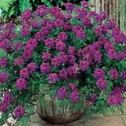 Hardy Verbena  Easy-Care, No-Mow Carpet        Weaves a thick, luxurious mat of foliage just 4 in. high; spreads rapidly. Absolutely loaded with royal purple flowers from early summer to frost—provides a full summer of color. Prefers full sun. Potted plan