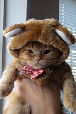 He looks just like my Gus Gus! Plus, Gus hates when I tried to dress him up.: Cats, Halloween Costume, Animals, Bears, Pets, Funny, Kitty