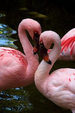 Heart Flamingos   by Don Sullivan... Fab pin of such beauty and color and motion!!: Pink Flamingos, Color, Birds Flamingos, Pink Heart, Animals Birds, Beauty, Beautiful Birds, Heart Flamingos