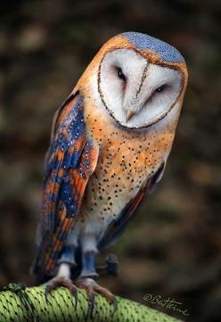 Heart Shaped Face Barn Owl...Beautiful: Face Barn, Heart Shaped Faces, Color, Owl Photo, Barnowl, Birds, Barn Owls, Animal