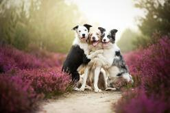 Heartwarming Dog Portraits By 19-Year-Old Polish Photographer: Alicjazmyslowska, Border Collies, Animals, Best Friends, Dogs, Pet, Bff, Alice Zmysłowska, Photo