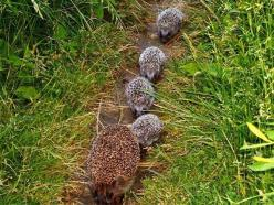 Hedgehog family: Animals, Family, Creatures, Hedgie, Adorable, Things, Small, Hedgehogs