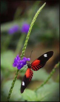 ~~Heliconius Doris Butterfly by Stephen Just~~: Beautiful Butterflies, Doris Butterfly, Flutterby S