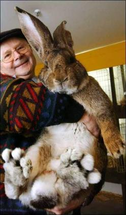 herman world's largest bunny | Meet Herman, the world's biggest bunny. - Imgur: Animals, Giant Rabbit, Pet, Giant Bunny, Bunnies, Easter Bunny, Flemish Giant