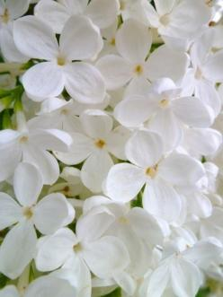 Hey I was thinking of making a group chat board, anyone think it's a good idea? If anyone wants to be a part of it let me know :): White Flowers, Pure White, Beautiful Flowers, Gardening, Gardens, Flowers, Photo, White Lilacs