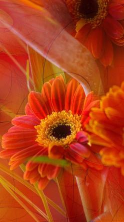 Hi ladies, the grey and brown was so pretty , so many of you found such nice pins . Tonight we are going to do yellow and red or yellow and orange, happy hunting and thank you !: Orange, Gerbera Daisies, Color, Art, Beautiful Flowers, Bloom, Beauty, Red G