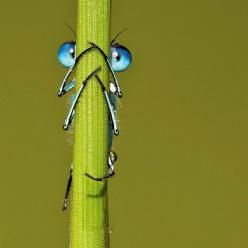 Hiding: Photos, Blue Eyed Damselfly, Animals, Nature, Blue Eyes, Dragonfly, Dragonflies
