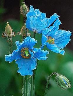 Himalayan Blue Poppies - grew these in my wildflower garden - so beautiful!: Blue Poppies, Blue Flowers, Beautiful Flowers, Himalayan Blue, Blue Poppy, Flowers, Garden