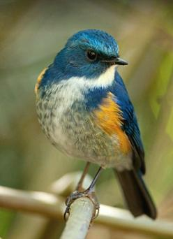 Himalayan Bluetail (Tarsiger rufilatus). An Asian Old World flycatcher. photo: Michael Gillam.: Tarsiger Rufilatus, Asian Flycatcher, Himalayan Bluetail, Birdie, Birds Photos, Birds Flycatchers, Beautiful Birds, Bluetail Tarsiger, Animal