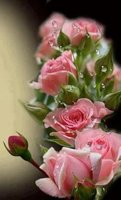 How can anyone look at these and say there is no God?  Of course there is................the work of His Hands is incredible and beyond our comprehension.  So much beauty........: Pink Roses, Google, Beautiful Roses, Dew Drop, Beautiful Flowers, Pink, Ros