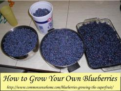 How to grow blueberries at home - soil preparation, soil pH, which blueberries to grow, how much water blueberries need, best mulch for blueberries.: Growing Blueberries, Growing Fruit, Outdoor, Big Brother, Fruit Trees, Grow Blueberries