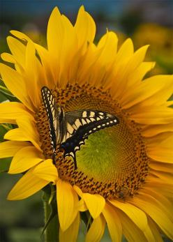 http://agitare-kurzartikel.blogspot.com/2012/09/zbo-hausbauratgeber-bauplanung-haus.html  beauty: Butterflies, Sunflowers, Sun Flower, Beautiful Flowers, Yellow, Beauty, Moth
