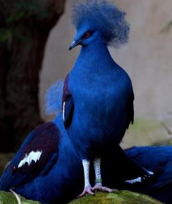 http://pixdaus.com/index.php?pageno=113&tag=animal&sort=tag Standing tall - Blue crowned pigeon by jujuba: Animals, Nature, Color, Beautiful Birds