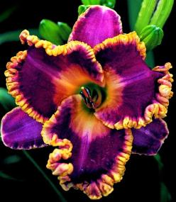 . http://ptaylor.igrowtour.com: Daylilies, Color, Daylily, Beautiful Flowers, Day Lilies, Flowers Garden, Pretty Flower, John Peat