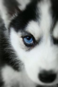 http://top10dogpictures.com/16-cute-husky-puppy-pictures.html: Pets, Puppys, Beautiful Eyes, Pomsky Puppy With Blue Eyes, Beautiful Dogs