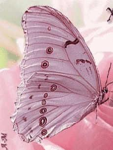 http://ueberschriftennews.blogspot.com/2012/06/karl-j-hirl-life-burnout-und-stress.html  Pink butterfly...almost too pretty to be real: Beautiful Butterflies, Pink Butterfly, Things Pink, Pinkbutterfly, Flutter By, Butterfly Moth