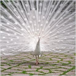 http://www.flickr.com/photos/jup3nep/728915260/in/faves-apriloaks/: Picture, Animals, Peacocks, Birds, Photo, Albino Peacock, White Peacock