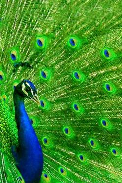 http://www.graphicsdb.com/data/media/779/peacock.jpg: Peacock Feathers, Animals, Peacocks, Blue Green, Beautiful, Lime Green, Funny Animal, Peacock Colors, Birds