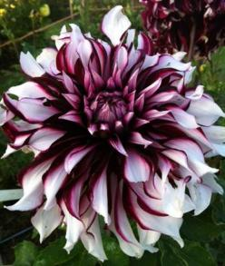 http://www.pinterest.com/germanimport/  Dahlia 'Tartan': Dahlia Flowers, Dahlia Tartan Beautiful, Dahlias, Dahlia Tartan Absolutely, Beautiful Flowers, Things, Cactus Flowers Foliage, Ahh Flowers, Flowers Garden